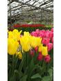 春のお花チューリップ