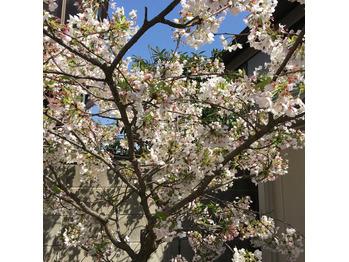春が来ましたね!_20170413_1