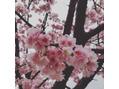 早咲き桜と休日