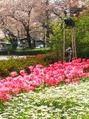 国立駅の桜