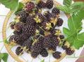 ブッラクベリーの収穫