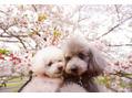 ◇犬と桜◇