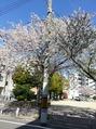 桜が満開の季節に・・・