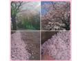 手のひらいっぱいに桜♪