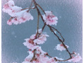 桜の開花♪