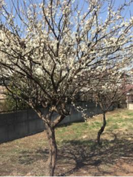 梅の花_20210226_1