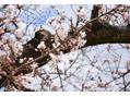 大阪城の桜をみてきました。