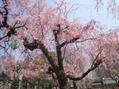 今日の桜の開花状態