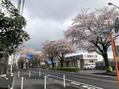 桜が、、、