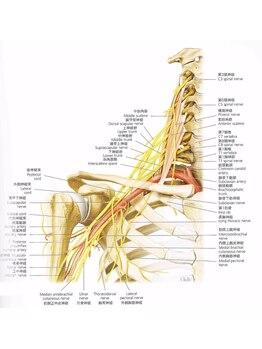 誠心流手技整体療法/首から出た神経は腕に
