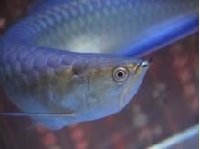 大型水槽でアロワナやエイなどの古代魚鑑賞はいかがですか?