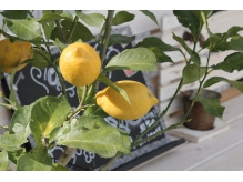 レモンの木が目印!!