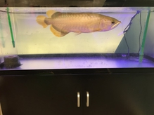 10年ものの熱帯魚(アロワナ)が優雅に泳いでおります!