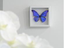 【Morpho】の由来となる世界一美しいと言われるモルフォ蝶